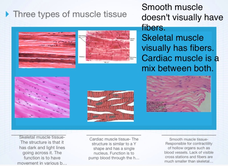 Muscular System Screen 2 On Flowvella Presentation Software For