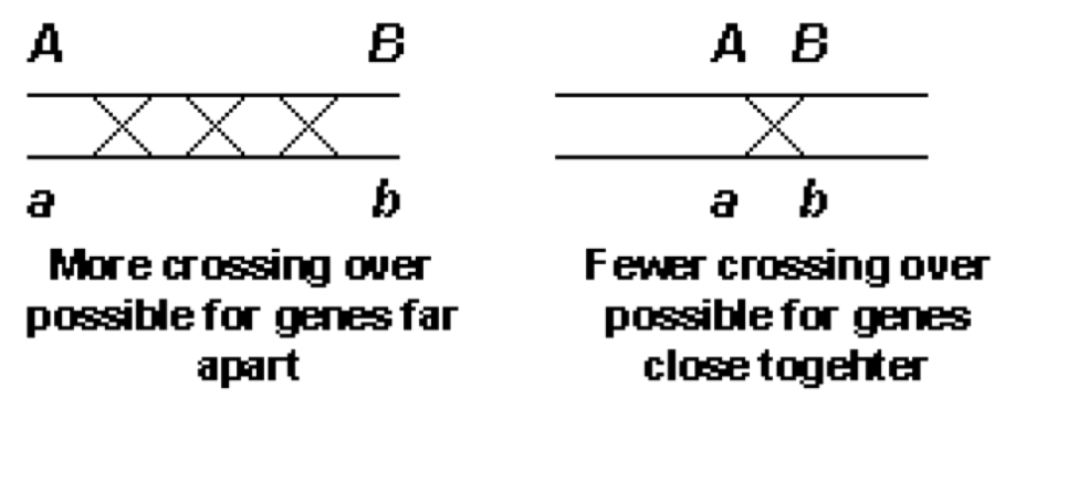 what is linkage and crossing over