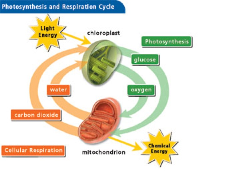 respiration vs photosynthesis