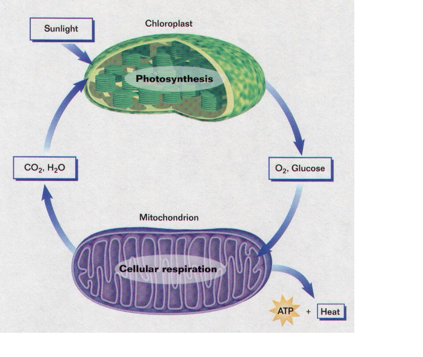 Photosynthesis and cellular respiration screen 7 on flowvella photosynthesis and cellular respiration screen 7 on flowvella presentation software for mac ipad and iphone ccuart Gallery