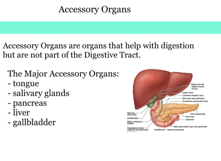 the digestive system - screen 4 on flowvella - presentation software for  mac ipad and iphone