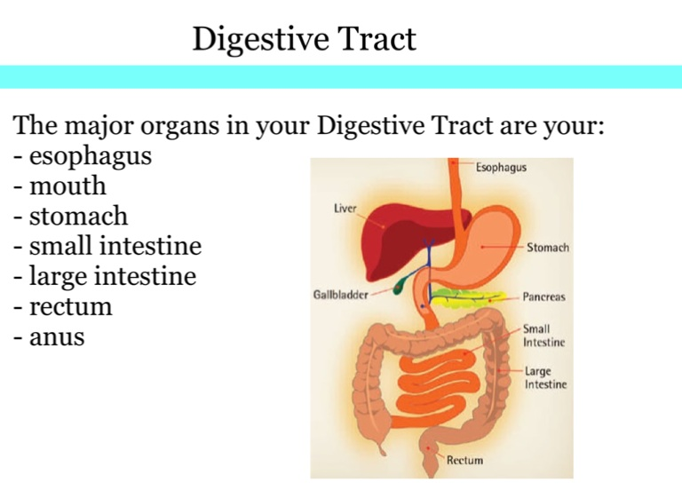the digestive system a presentation The function of the digestive system is digestion and absorption digestion is the breakdown of food into small molecules, which are then absorbed into the body the digestive system is divided into two major parts: the digestive tract (alimentary canal) is a continuous tube with two openings: the mouth and the anus.