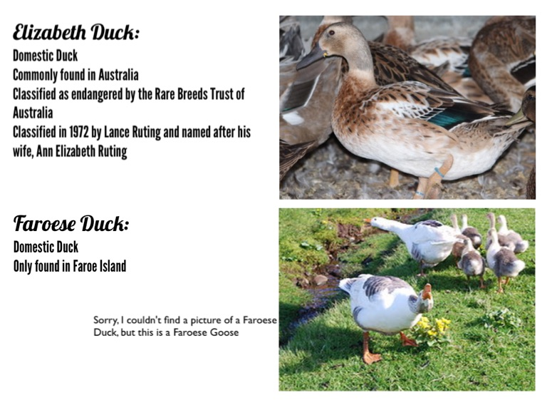 breed of ducks essay The call duck is the world's smallest domestic duck breed, as it weighs less than 1 kg (22 lb) hunting in many areas, wild ducks of various.