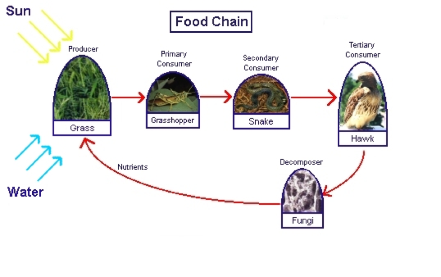 essay about food chain A food chain example : this food chain begins with kelp and seaweed krill eats kelp that is in the bottom of the food chain , then it gets eaten by mackreel and herrings the killer whale is at the top of the food chain that means no animal can eat it it eats squid , octopus , seal and mackreel tuna is good to eat by humans kelp , mackreel.